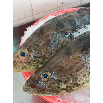 PROMOTION! Orange-spotted Grouper 青眼斑 (refer description)
