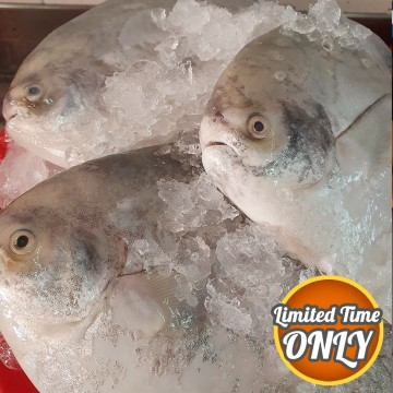 PROMOTION! Big Chinese Pomfret 大斗鲳 (refer to description)